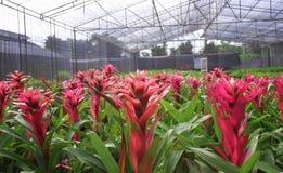 Grupos de bromeliade vermelho das flores coloridas que floresce nos berçários tropicais da planta decorativa, agrícola moderno us foto de stock