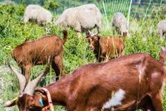 Grupos de cabras con la cabra del ni?o en el prado imagen de archivo libre de regalías