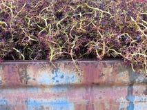 Grupos de Destalking de uvas imagem de stock royalty free