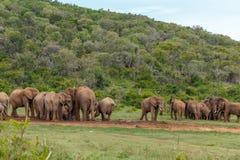 Grupos de elefantes que recolectan junto en la presa imágenes de archivo libres de regalías