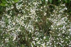 Grupos de flores brancas florescidas pequenas do áster fotografia de stock royalty free