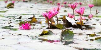 Grupos de florescência dos lótus cor-de-rosa Fotografia de Stock