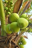 Frutos novos do coco Imagens de Stock
