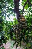 Grupos de Longkong na árvore Foto de Stock Royalty Free