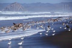 Grupos de maçarico real e de suporte Longo-faturados do Sanderling em uma praia Imagem de Stock Royalty Free