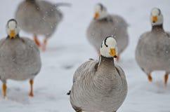 Grupos de patos indianos na neve, oásis Val Campotto Imagens de Stock Royalty Free