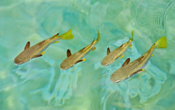 Grupos de peixes que nadam Imagem de Stock