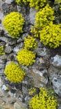 Grupos de plantas amarillas del jardín de rocalla en la pared de piedra vieja Fotos de archivo libres de regalías