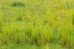 Grupos de Savannah Grasses Imagen de archivo