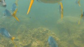 Grupos de submarino y de fondo del mar de los pescados de la trucha salmonada metrajes