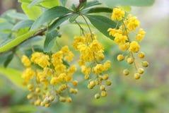 Grupos de suspensão de flores amarelas no close up do ramo fora Imagens de Stock