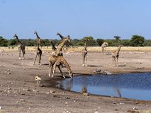 Grupos de ungulates no waterhole, Etosha, Namíbia imagem de stock royalty free