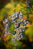 Grupos de uva vermelhos (4). Imagens de Stock