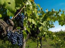 Grupos de uvas foto de stock