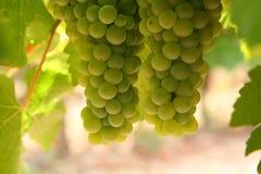 Grupos de uvas Imagem de Stock
