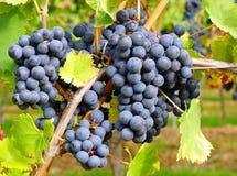 Grupos de uvas azuis maduras imagem de stock