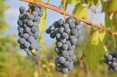 Grupos de uvas azuis na videira no outono ensolarado imagem de stock royalty free