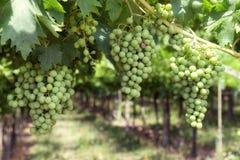 Grupos de uvas brancas verdes Imagem de Stock