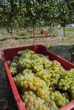 Grupos de uvas da colheita fotografia de stock royalty free