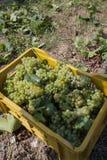 Grupos de uvas da colheita fotos de stock royalty free