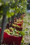 Grupos de uvas da colheita imagem de stock royalty free