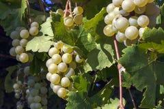 Grupos de uvas e de folhas da videira Foto de Stock Royalty Free