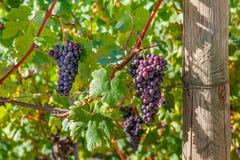 Grupos de uvas maduras em Itália Fotografia de Stock Royalty Free