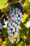 Grupos de uvas maduras na videira Fotos de Stock Royalty Free