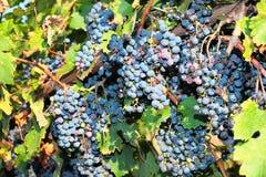 Grupos de uvas maduras na videira Fotografia de Stock Royalty Free