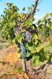 Grupos de uvas maduras na videira Imagem de Stock