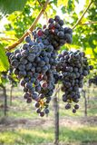 Grupos de uvas maduras saborosos imagens de stock royalty free