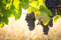 Grupos de uvas maduras saborosos foto de stock royalty free