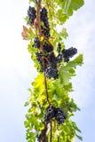 Grupos de uvas maduras saborosos fotos de stock