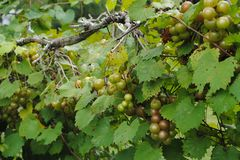 Grupos de uvas na videira fotografia de stock royalty free