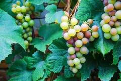 Grupos de uvas para vinho Fotografia de Stock