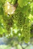 Grupos de uvas para vinho na videira Fotos de Stock