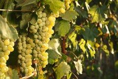 Grupos de uvas que crescem no vinhedo no dia ensolarado foto de stock royalty free
