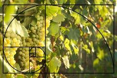 Grupos de uvas que crescem no vinhedo no dia ensolarado foto de stock
