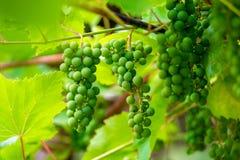 Grupos de uvas verdes na plantação Foto de Stock Royalty Free