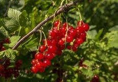 Grupos do corinto vermelho em um ramo no jardim fotografia de stock royalty free