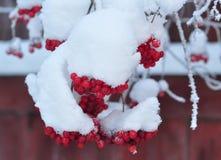 Grupos do viburnum como o objeto isolado no inverno fotos de stock