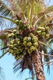 Grupos dos cocos na palma fotografia de stock royalty free