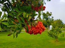 Grupos exteriores de Rowan em um ramo no fundo do parque Clouse acima do verde e da laranja das cores Fotos de Stock Royalty Free