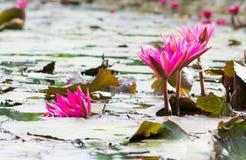 Grupos florecientes del loto rosado Foto de archivo