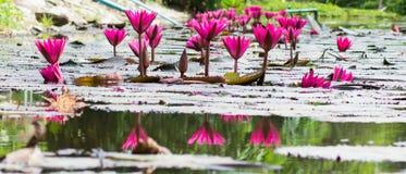 Grupos florecientes del loto rosado Fotografía de archivo