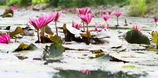 Grupos florecientes del loto rosado Imagen de archivo libre de regalías