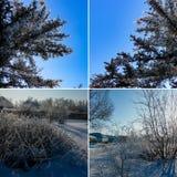 Grupos polvilhados com a neve contra um céu azul claro Lan do inverno fotografia de stock royalty free