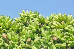 Grupos verdes da banana fotografia de stock royalty free
