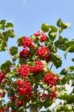 Grupos vermelhos maduros do viburnum foto de stock royalty free