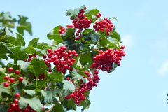 Grupos vermelhos maduros do viburnum fotografia de stock